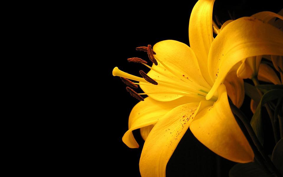 yellow lily resized